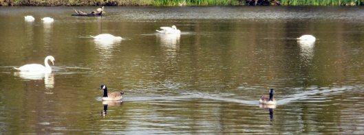 mute swans at Bolam Lake