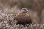 Red grouse, Lagopus lagopus scoticus