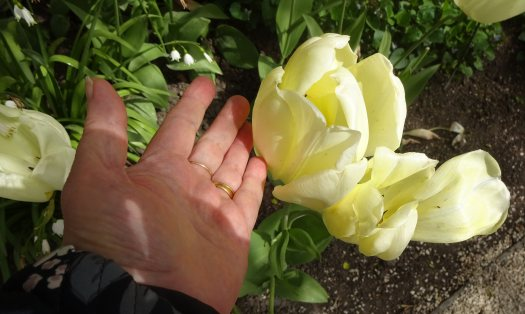 Tulips as big as your hand